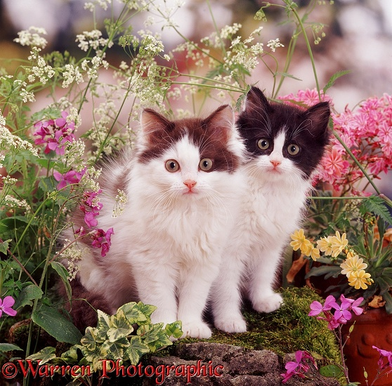 Chocolate- and blue-bicolour kittens among late spring flowers