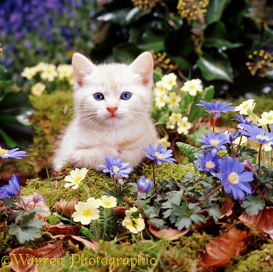 Cream Burmese kitten among blue Wood Anemones and Primroses