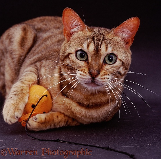 Brown spotted Bengal female cat Indra with orange catnip mouse