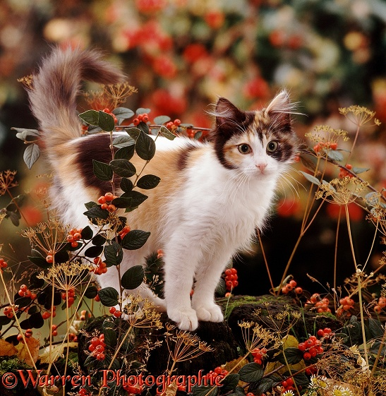 Tortoiseshell-and-white cat among autumn berries and Ground Elder deadheads