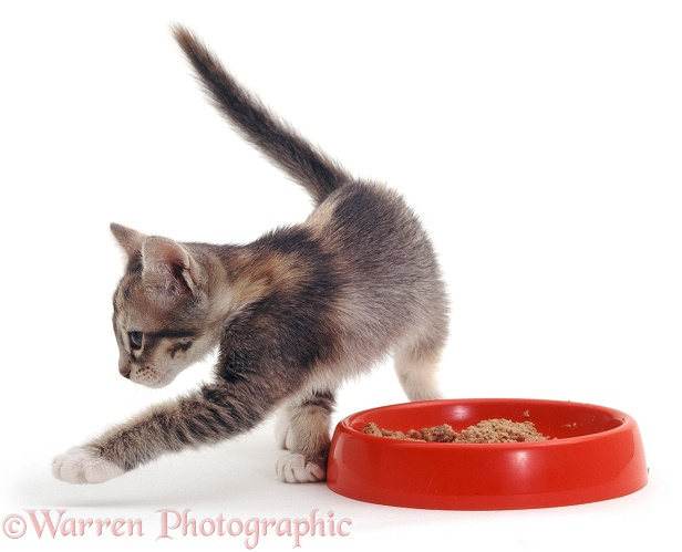 Blue-cream Harebell kitten, food covering after she has finished eating, white background