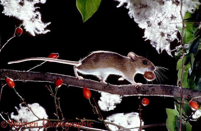 Yellow-necked Mouse (Apodemus flavicollis) carrying a hazel nut to its nest.  Europe
