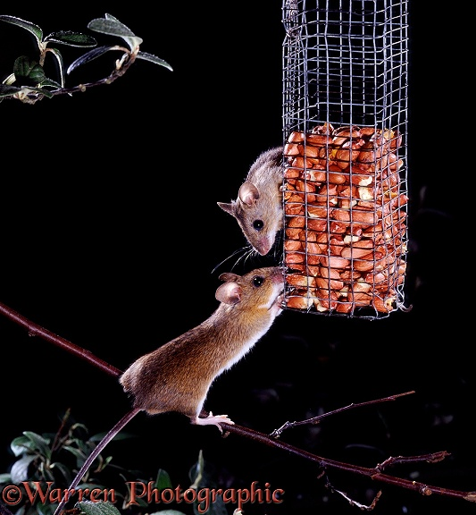 Yellow-necked Mice (Apodemus flavicollis) taking peanuts from a bird feeder at night.  Europe