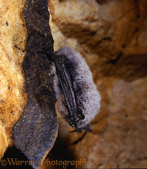 Whiskered Bat (Myotis mystacinus) hibernating in a damp sandstone cave