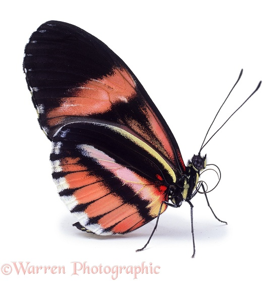 Heliconius Butterfly (Heliconius species), white background
