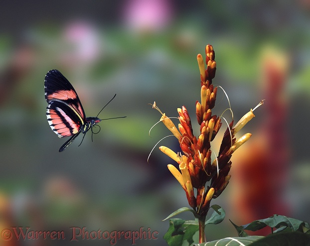 Heliconius Butterfly (Heliconius species).  Central & South America