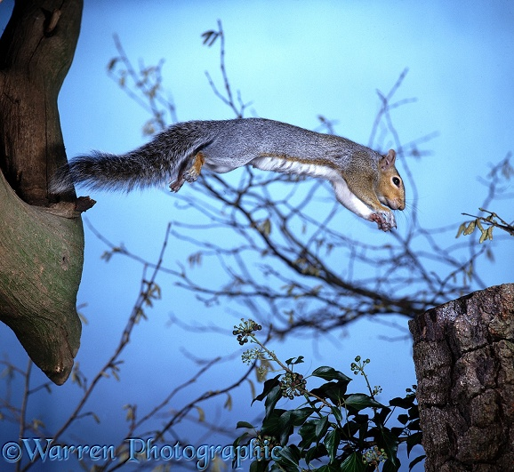 Grey Squirrel (Sciurus carolinensis) leaping a gap.  North America introduced elsewhere