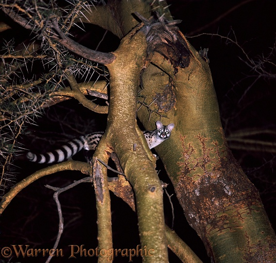 Common Genet (Genetta genetta) with fluffed tail in 'fever' tree at night.  Africa