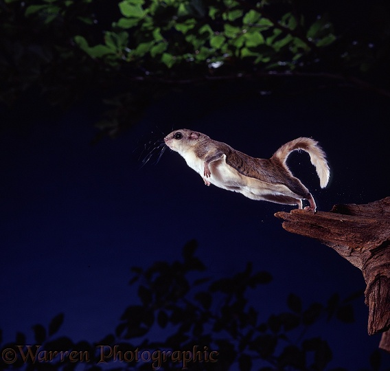 Southern Flying Squirrel (Glaucomys volans) leaping into the air from a broken branch.  North America