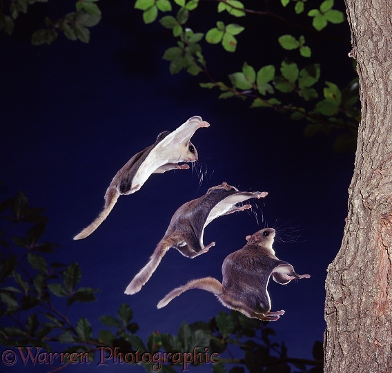 Southern Flying Squirrel (Glaucomys volans) landing on a tree trunk. Three images at 50 millisecond intervals