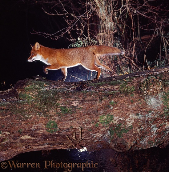 Red Fox (Vulpes vulpes) using a fallen oak to cross a small river.  Europe, North America, introduced elsewhere
