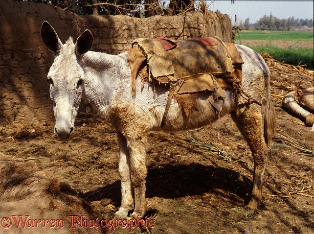 Domestic Donkey (Equus asinus) as a beast of burden. Nile Delta, Egypt