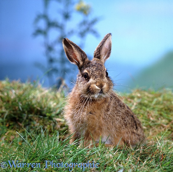 Brown Hare (Lepus europaeus) leveret.  Europe, Africa