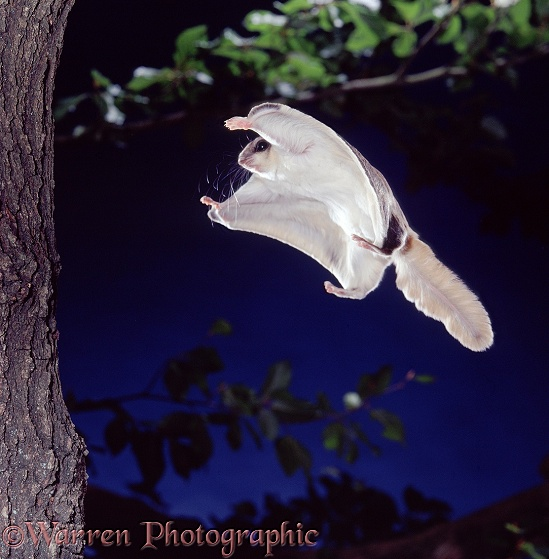 Southern Flying Squirrel (Glaucomys volans) gliding in to land on tree trunk