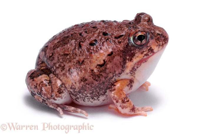 Natal Pyxie Frog (Pyxicephalus natalensis).  Southern Africa, white background