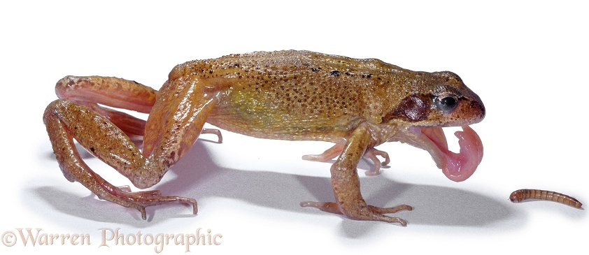 Common Frog (Rana temporaria) feeding, white background