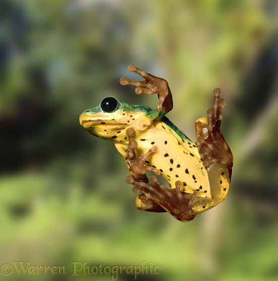 Reed Frog (Hyperolius viridiflavus) on glass, showing sucker pads on toes.  East Africa