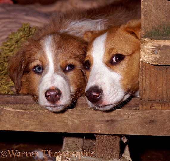 Two pups looking out of a kennel