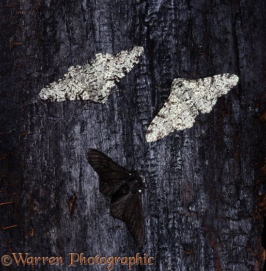 Peppered Moths (Biston betularia) normal and melanic forms resting on a charred tree trunk.  Europe