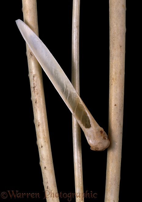Frigatebird (Fregata species) wing bones with one sectioned to show hollow structure