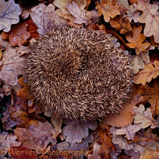 Hedgehog (Erinaceus europaeus) curled up.  Europe