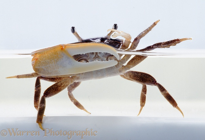 Fiddler Crab (Uca species), male, white background