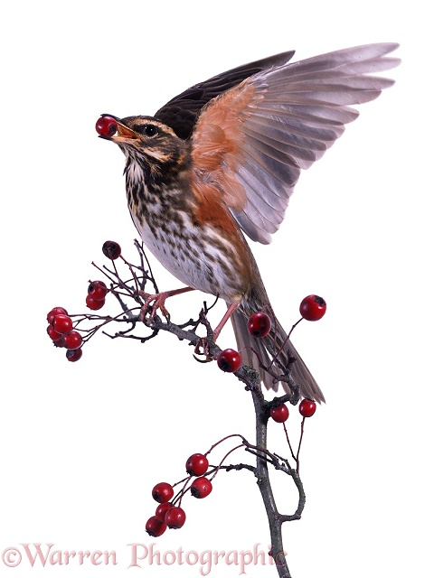 Redwing on hawthorn, white background