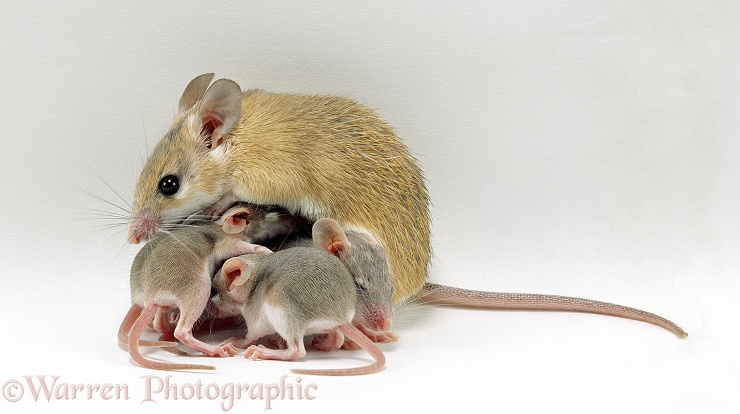 Spiny mouse with babies, white background