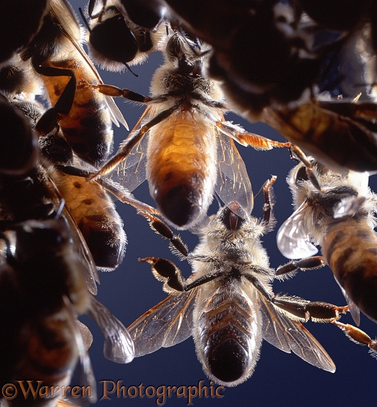 Honey Bee (Apis mellifera) workers viewed from underside showing location of wax glands