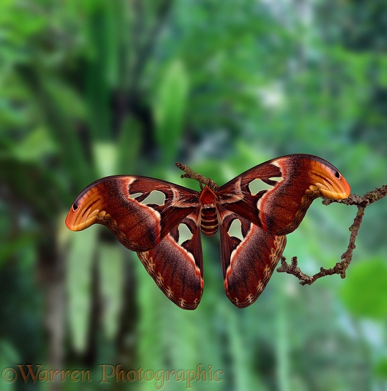 Atlas Moth (Attacus atlas) newly-emerged female.  India & Southeast Asia