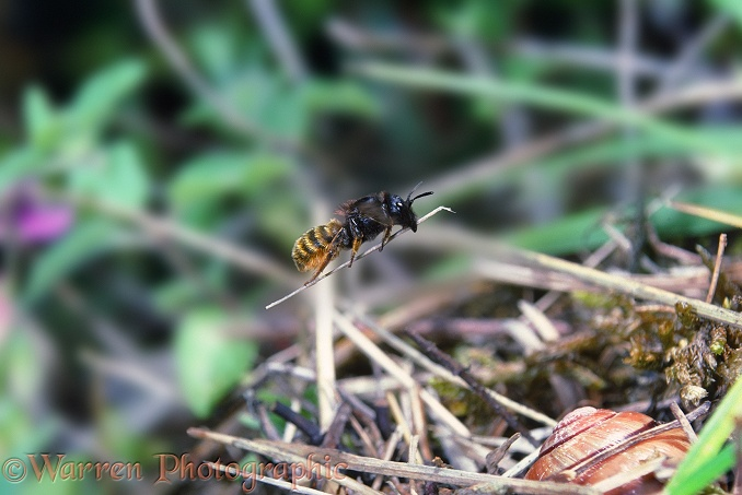 Mason Bee (Osmia bicolor) female carrying a piece of dead grass to cover her nest in an empty snail shell