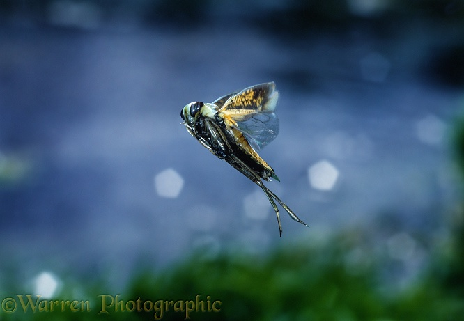 Water Boatman or Backswimmer (Notonecta glauca) in flight