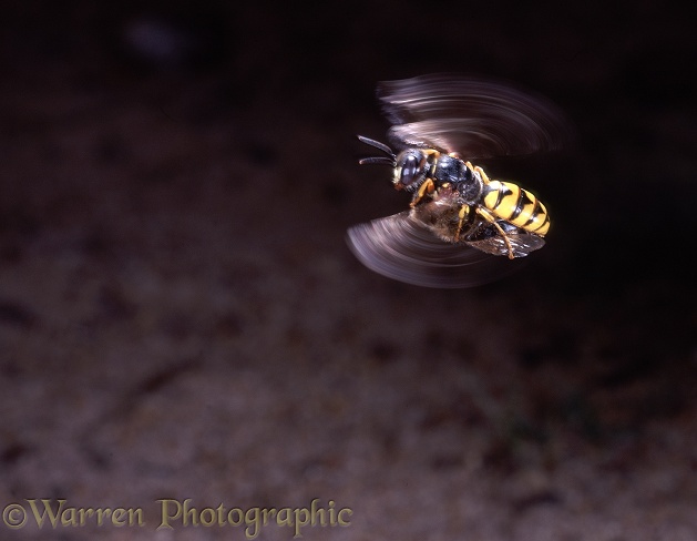 Bee-killer Wasp (Philanthus triangulum) female flying low over ground with honey bee prey, searching for its burrow