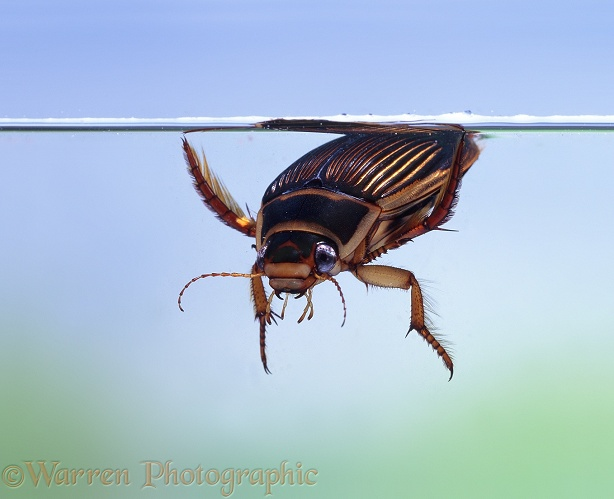 Great Diving Beetle (Dytiscus marginalis) female taking in air at water surface