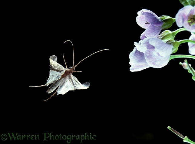 Caddis Fly (Limnephilus lunatus) and cuckoo flowers.  Europe