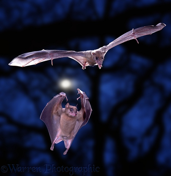 Egyptian Rousette Bats (Rousettus aegyptiacus) in flight