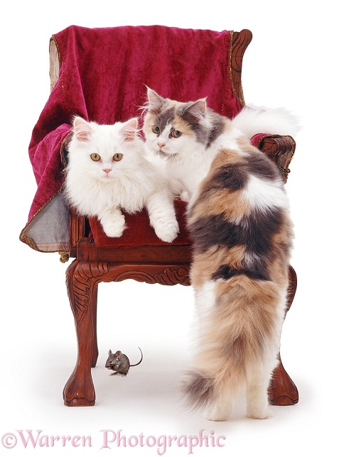 Cats and chair with a mouse