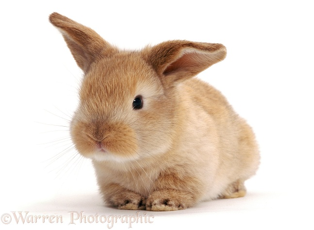 Sandy Lop rabbit, 3 weeks old, white background