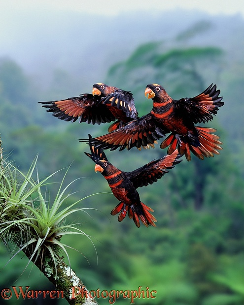 Dusky Lory (Pseudeos fuscata) group about to alight.  S.E. Asia
