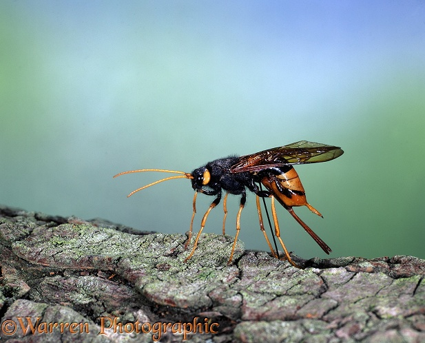 Giant Wood-wasp (Urocerus gigas) female laying eggs in fallen conifer branch