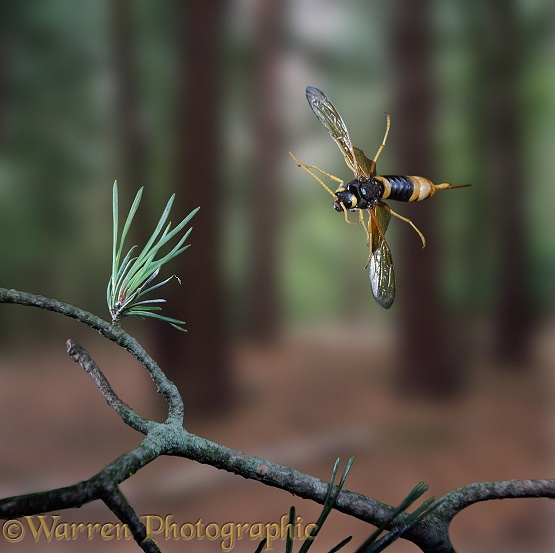 Giant Wood-wasp (Urocerus gigas) female in flight