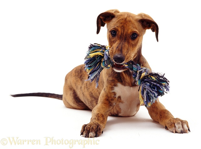 Brindle Lurcher pup Bryn with ragger, 10 weeks old, white background