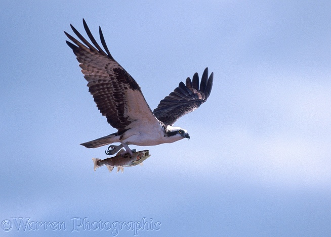 Osprey (Pandion haliaetus) male carrying Rainbow Trout.  Worldwide