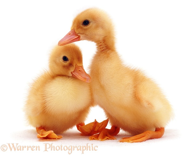 Ducklings, white background