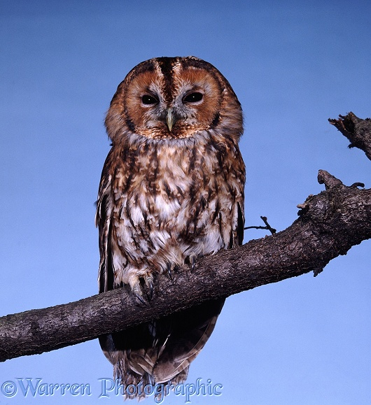 Tawny Owl (Strix aluco) with eyes partly closed in daylight.  Europe