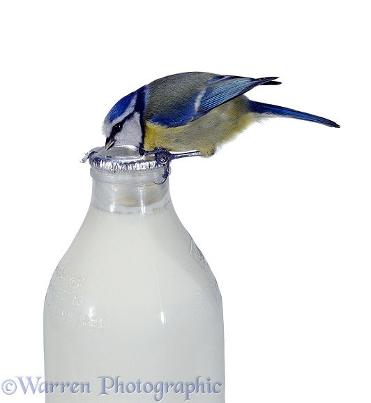 Blue tit drinking milk