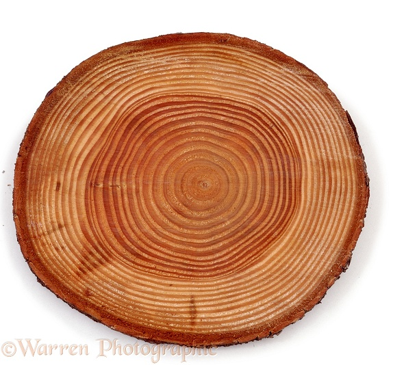 Douglas Fir (Pseudotsuga menziesii) trunk sectioned to show growth rings, white background