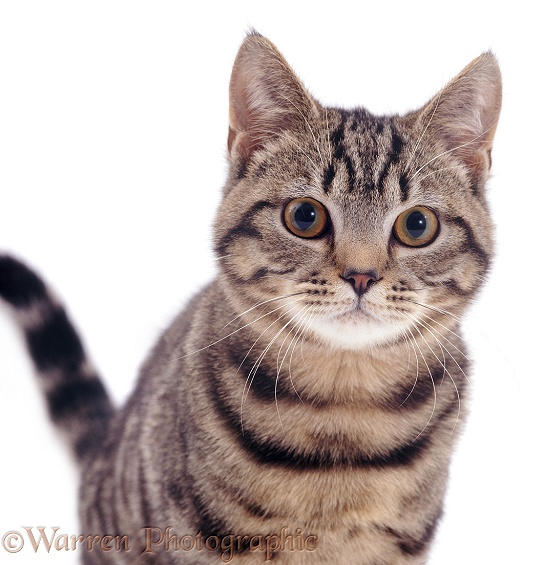 Tabby Shorthair cat Lowlander, white background