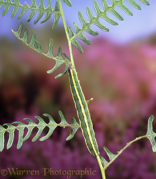 Broom Moth (Ceramica pisi) caterpillar on Bracken.  Europe including Britain