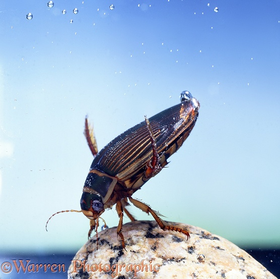 Great Diving Beetle (Dytiscus marginalis) female